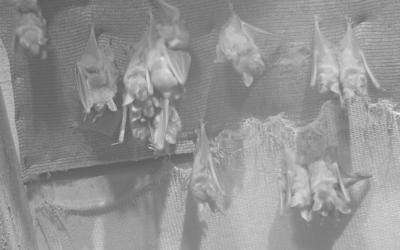 Die Grossen und Kleinen Mausohren von Fully live